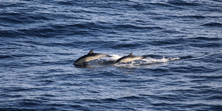 <h5>18 Common Dolphins </h5>