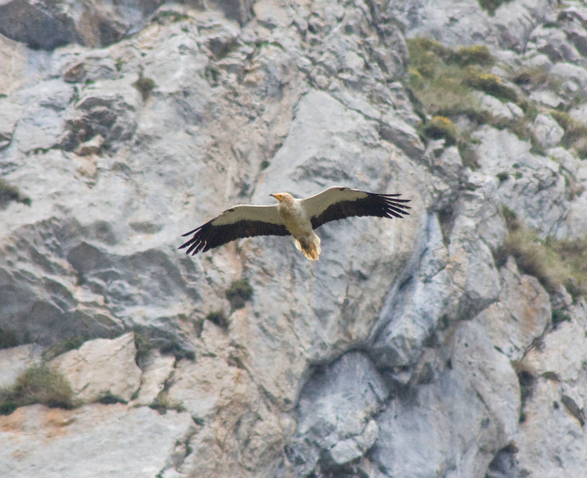 <h5>11 Egyptian Vulture</h5>