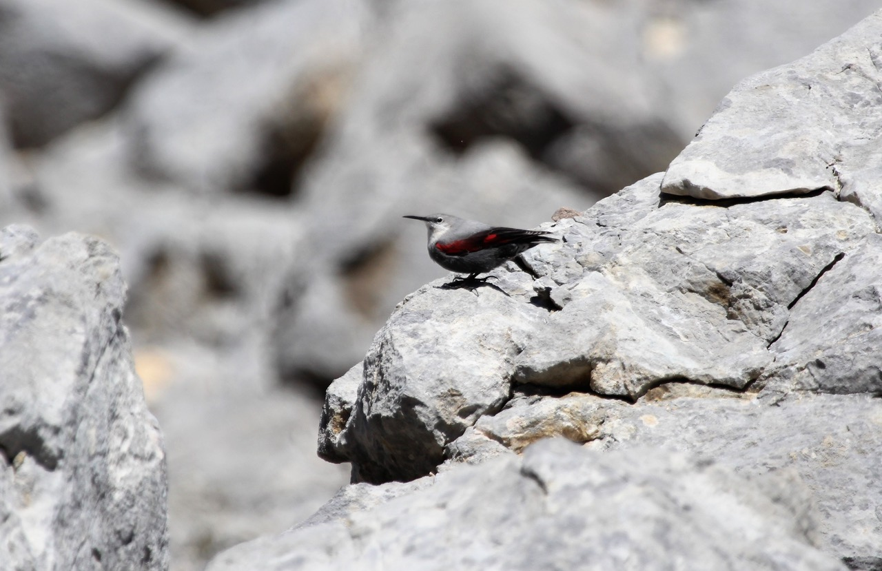 <h5>13a  Wallcreeper</h5>