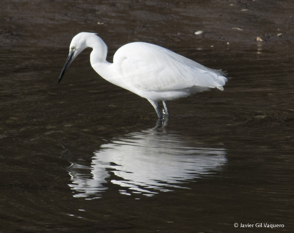 <h5>25   Little Egret, Cantabria</h5>