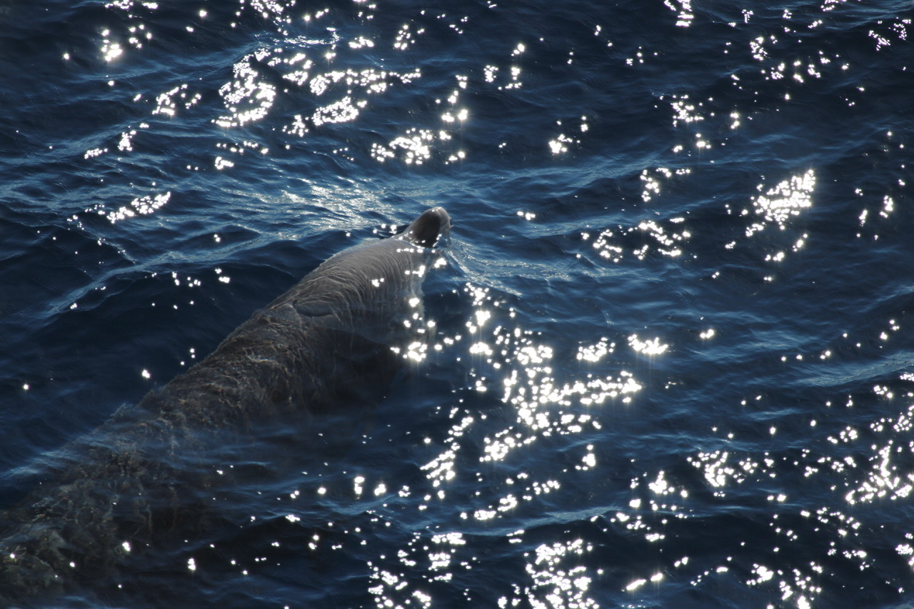 <h5> 5 Cuvier's Beaked Whale </h5>