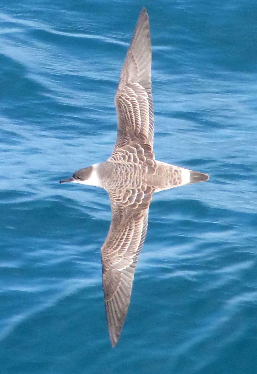 <h5>7  Great Shearwater </h5>